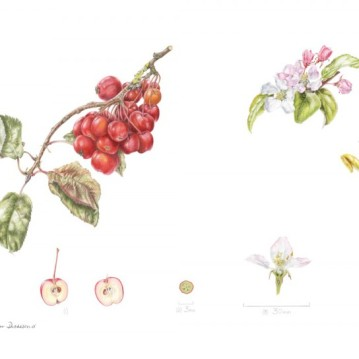 "Malus x robusta ""Red Sentinel"" in coloured pencil."