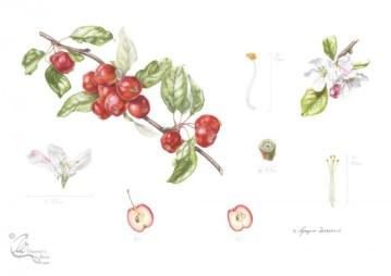 """Malus x atrosanguinea """"Gorgeous"""" Crab apple in Coloured pencil."""