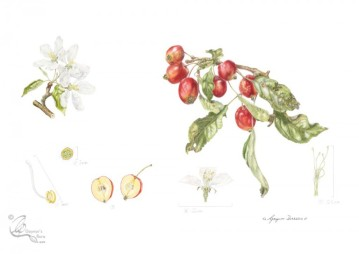 "Malus x sylvestris ""John Downey"" in Coloured pencil."