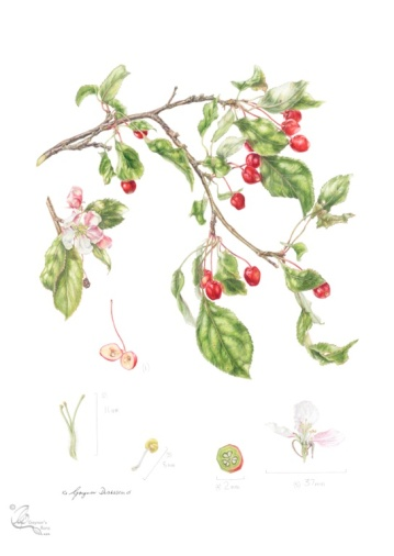 "Malus x scheideckeri ""Red Jade"" in Coloured pencil"