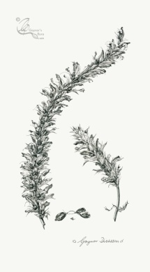 'Young or Old but still Spiky' - Acanthus