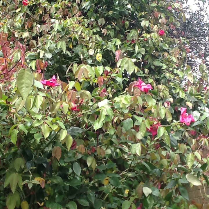 Rosa chinensis 'Crimson Bengal'