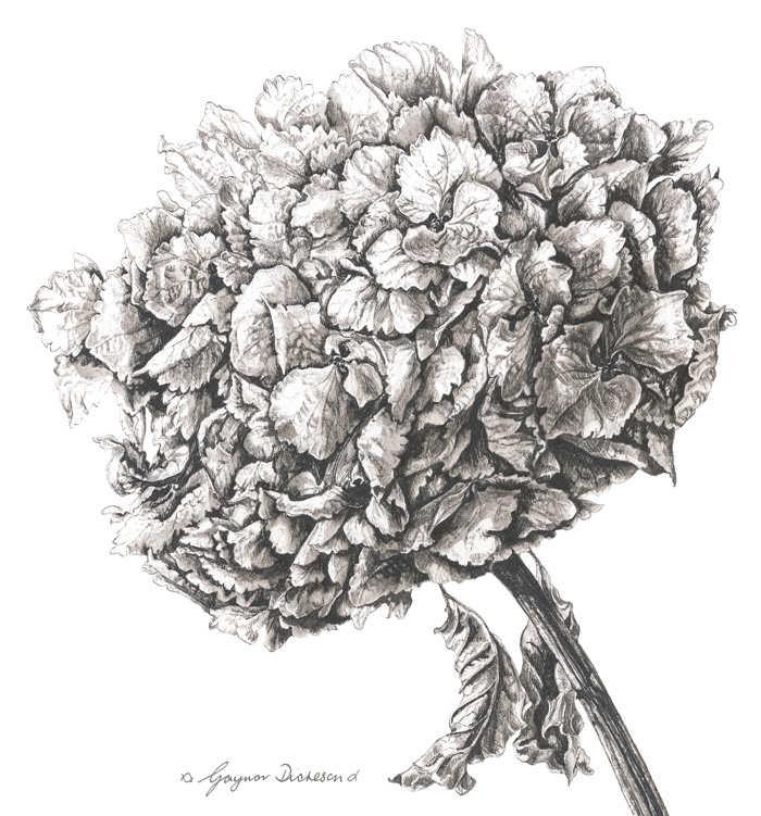 Hydrangea large ink cropped web