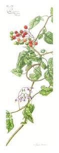 Solanum x dulcamera - Bittersweet nightshade