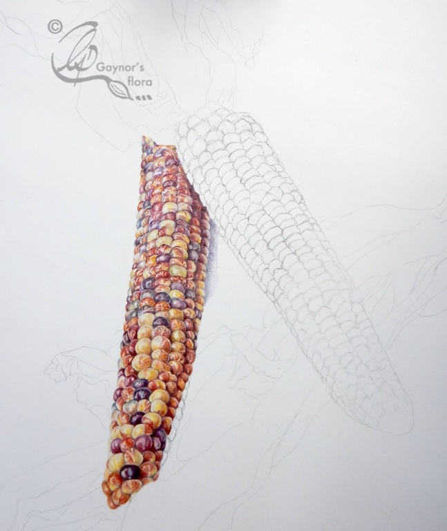 The botanical art demonstration - Indian corn in coloured pencil