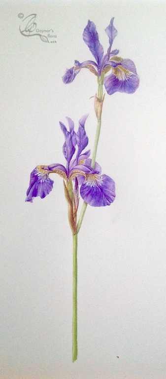Sibirica Iris in Watercolour