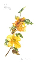 Fremontodendron x californicum 'California Glory'