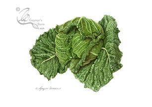 Brassica oleracea var italica (Savoy Cabbage)