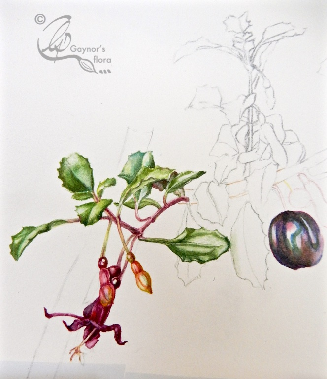 Fuchsia microphylla painting started