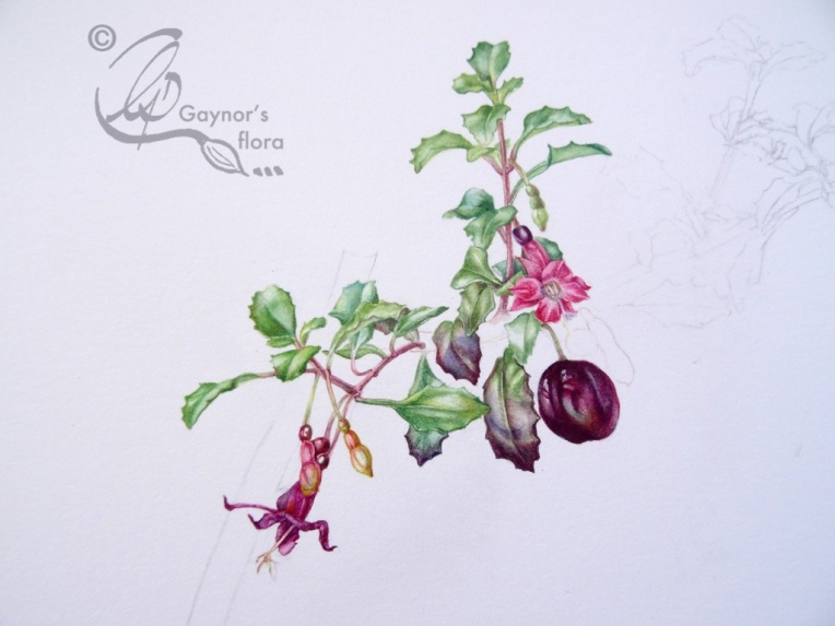 Fuchsia Microphylla botanical art progression - change point!