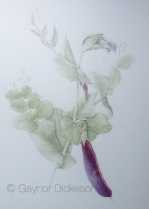 Purple peas from the garden. Watercolour
