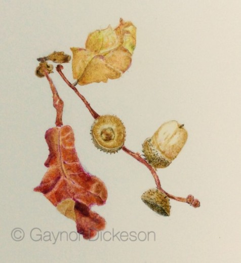 Acorn in coloured pencil