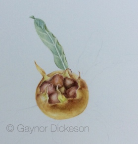 Medlar in watercolour