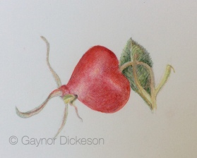 Rosa rugosa hip - coloured pencil