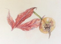 Acer and rose hip - Coloured pencil