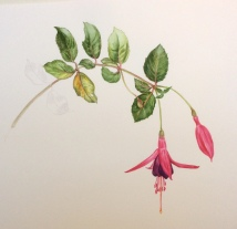 Fuchsia - watercolour