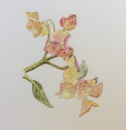 Hydrangea bracts- coloured pencil