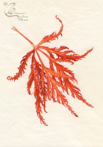 Acer leaf on Vellum