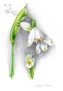'Summer snowflake' - Leucojum aestivum. Watercolour over graphite.
