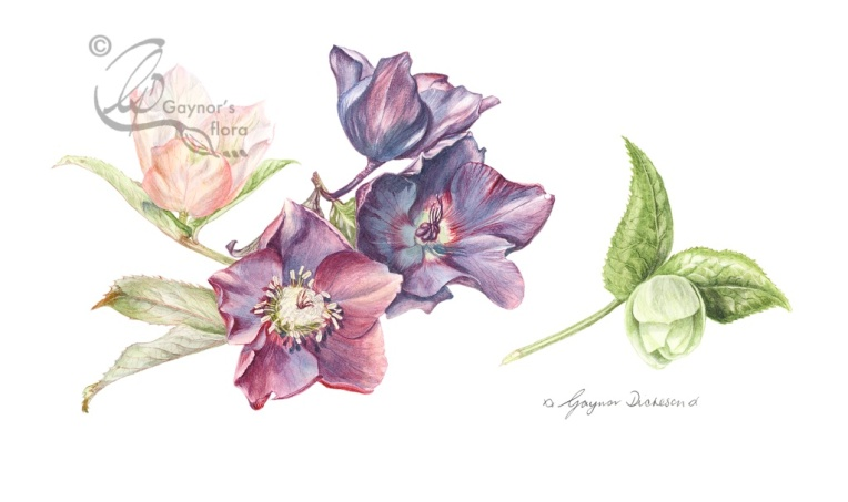 Hellebore mix in watercolour