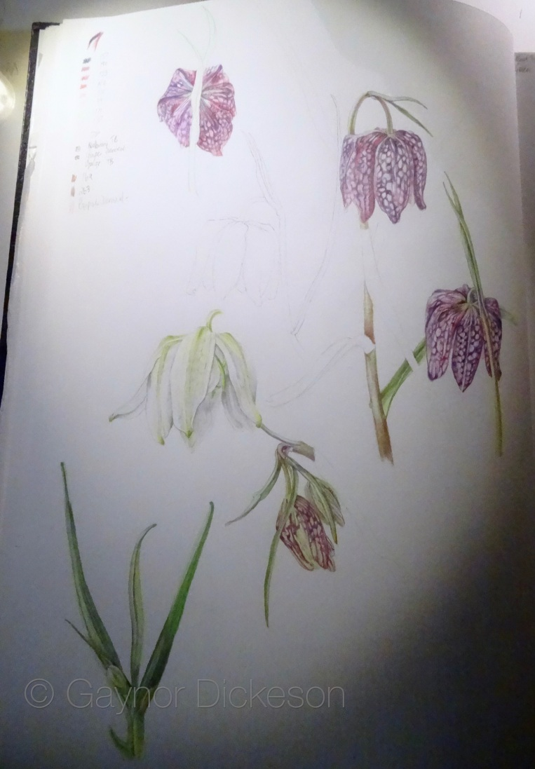 Fritillaria meleagris in coloured pencil.