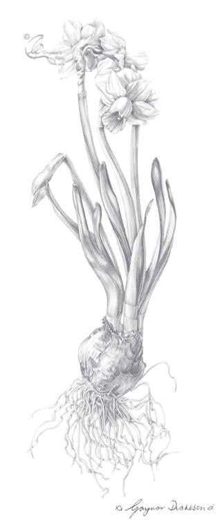 © Graphite daffodil 8bit+sig