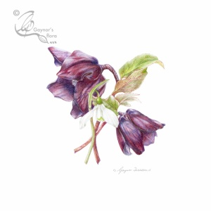 Light against dark - Snowdrop protected by Hellebores. Coloured pencil.