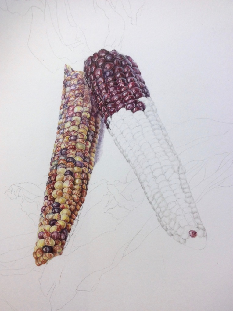 Indian Corn in coloured pencil