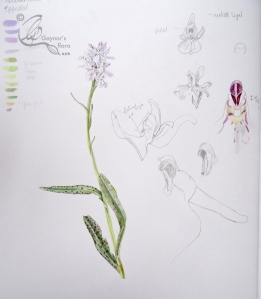 Heath spotted Orchid sketchbook page