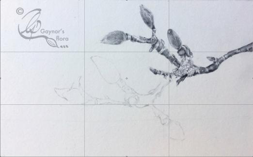 Magnolia x soulageana terminal buds in graphite.