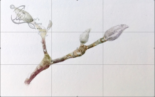 Magnolia x soulageana terminal buds in watercolour.
