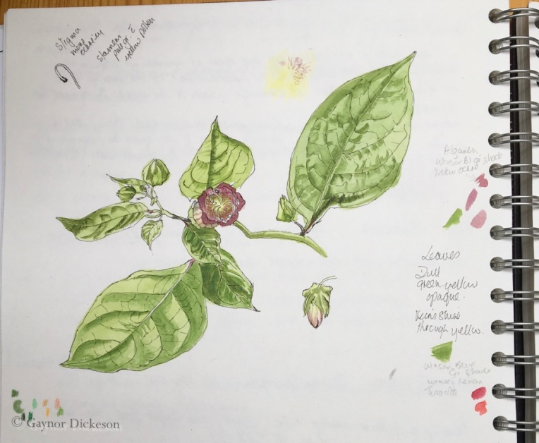 Atropa Belladonna - Deadly Nightshade.
