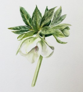 Hellebore in watercolour