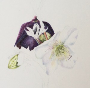 Hellebore in coloured pencil
