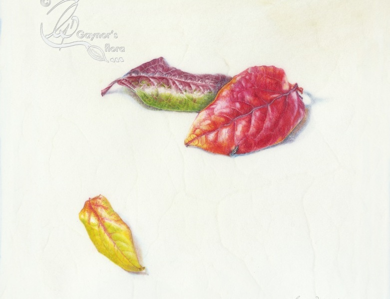 High bush blueberry leaf trio. Watercolour on natural calf-skin vellum